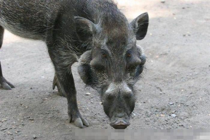 """爪哇疣猪被称为""""世上是最丑陋的猪""""。"""