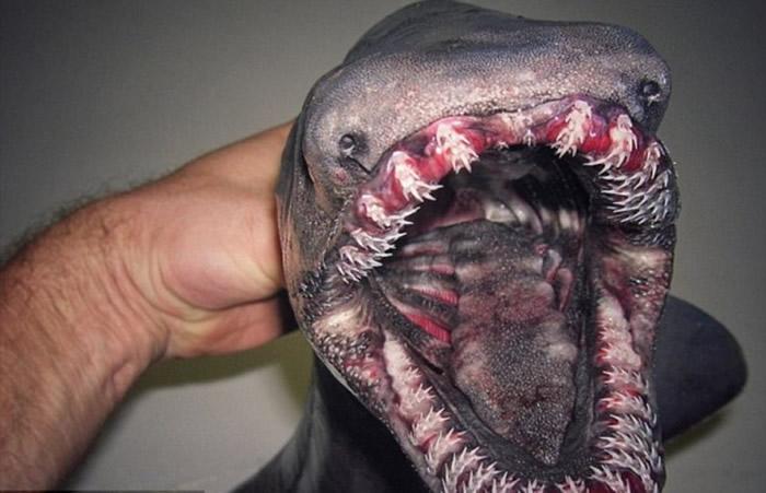 皱鳃鲨长有可怕的牙齿,被称为活化石。