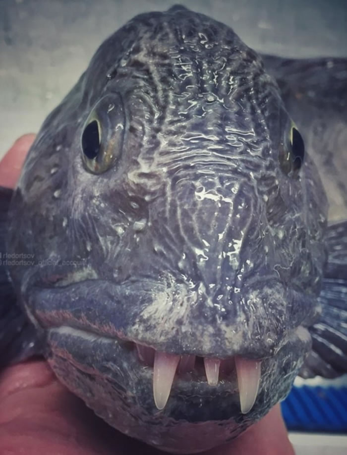 费多尔措夫认为这是一条狼鱼,它长有长长的犬齿。