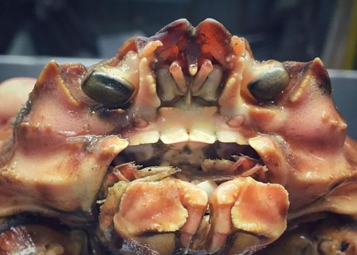 这只蟹的牙齿跟人类牙齿十分相似。