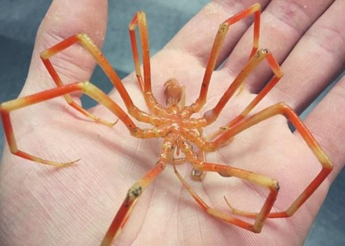 这只深海蜘蛛不禁联想到外星生物的模样。