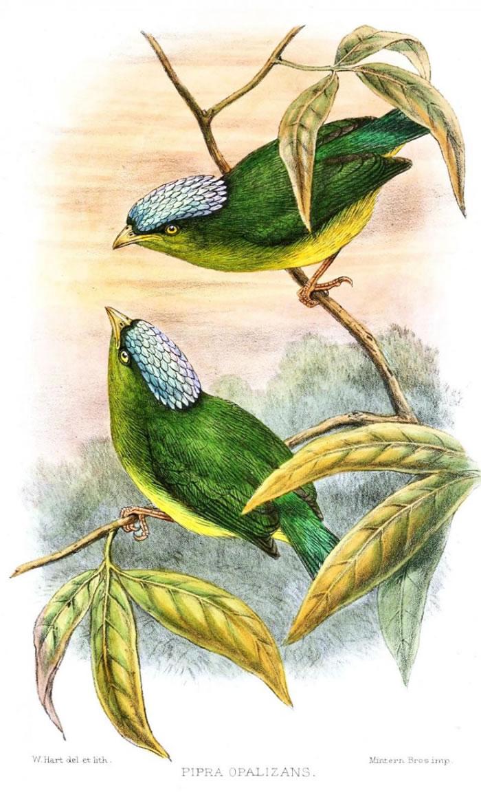 乳白冠侏儒鸟(Opal-crowned manakin)
