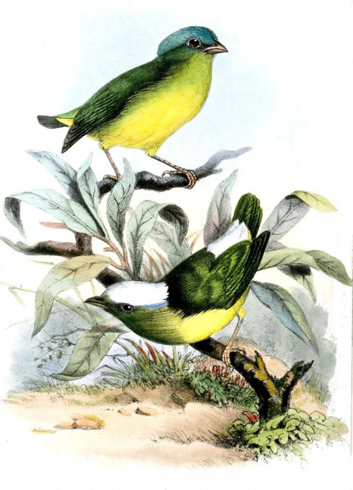 雪顶侏儒鸟(Snow-capped manakin)