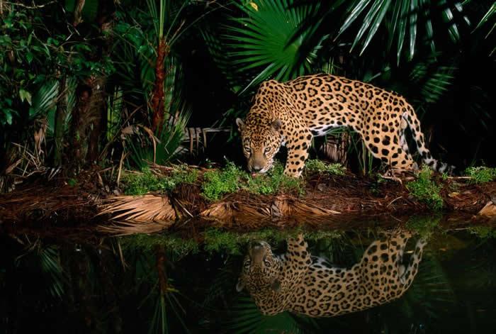 在贝里斯动物园,一头名为「佩佩」的美洲豹沿着水塘边行走。 PHOTOGRAPH BY STEVE WINTER, NATIONAL GEOGRAPHIC