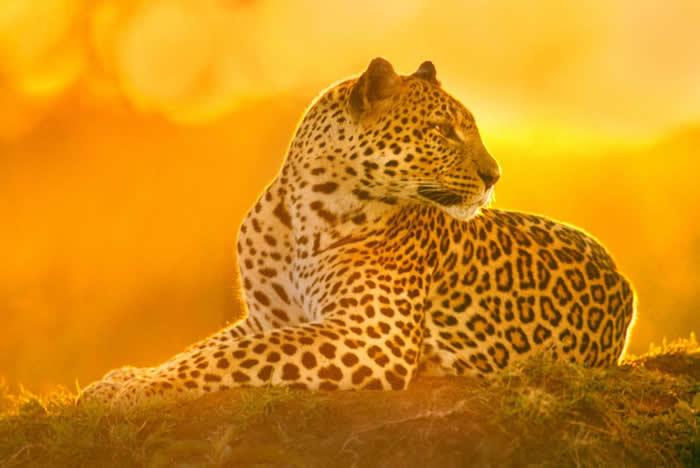 一头母花豹在肯亚的马赛马拉国家保护区内休息。 PHOTOGRAPH BY FRANS LANTING, NATIONAL GEOGRAPHIC CREATIVE