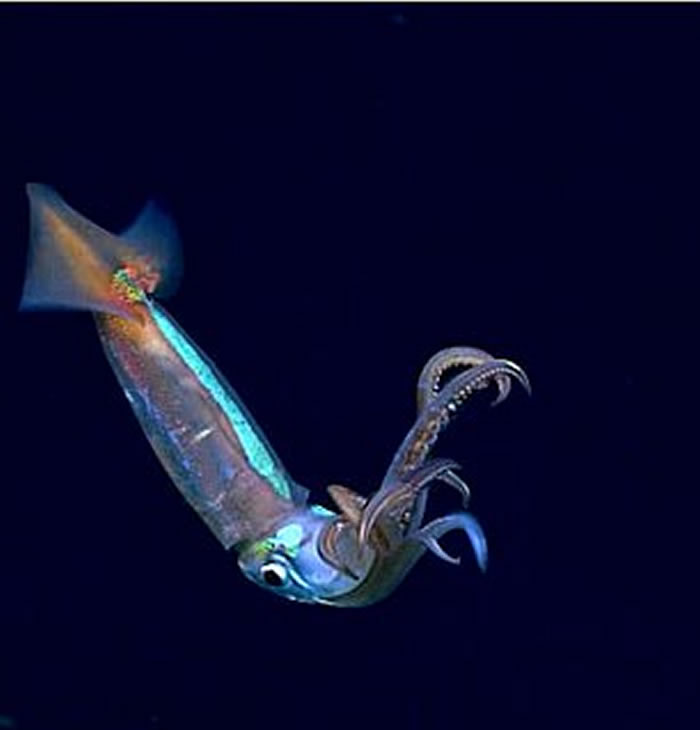 """美国NOAA探索墨西哥湾发现""""无头""""浮游海参"""