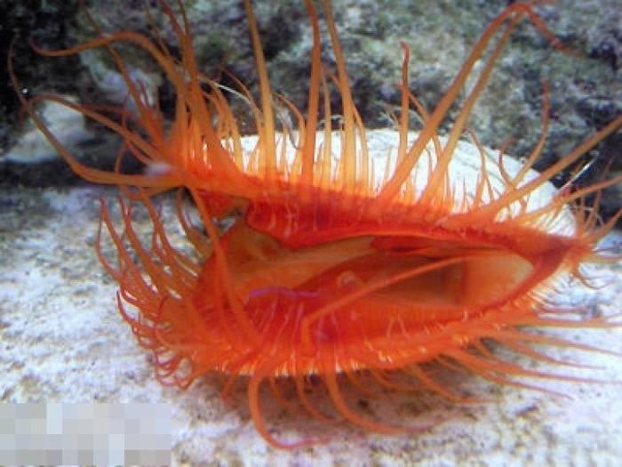 火焰贝是以浮游生物为主食。