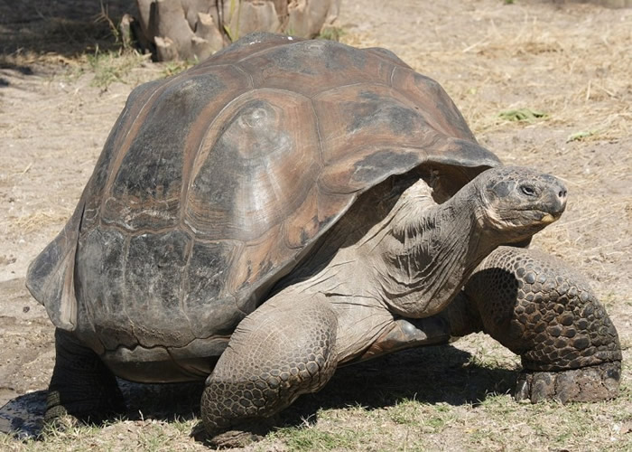 加拉伯戈斯象龟多年来成功以自然方法孵化下一代。