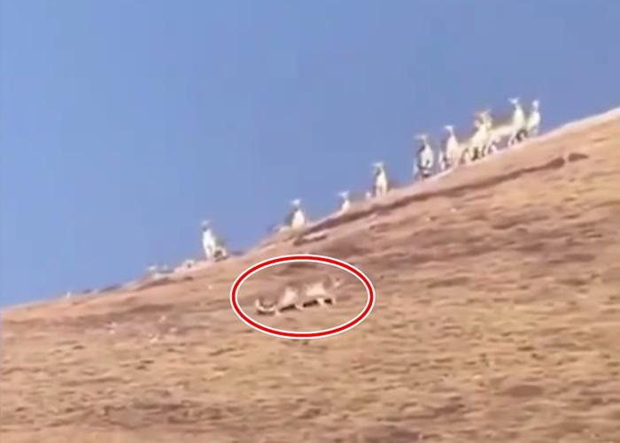四川甘孜州色达县霍霍西乡生态护林员发现国家一级保护动物雪豹准备捕食岩羊