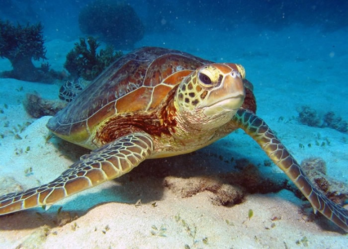 受全球暖化影响,愈来愈多的大堡礁绿海龟是雌性。