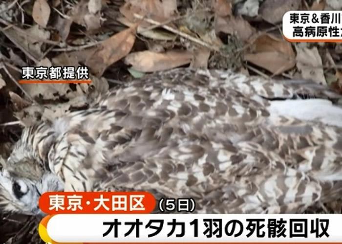 有居民在大田区发现苍鹰尸骸。