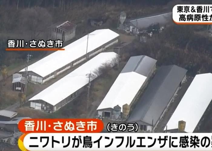 香川县赞岐市有养鸡场的鸡只大规模死亡。