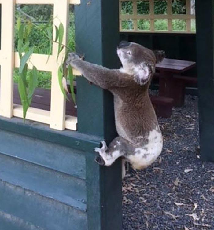 澳大利亚昆士兰国宝树熊惨被用螺丝钉柱上
