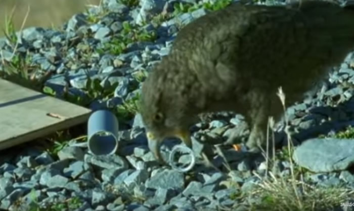 啄羊鹦鹉在训练时玩得不亦乐乎。