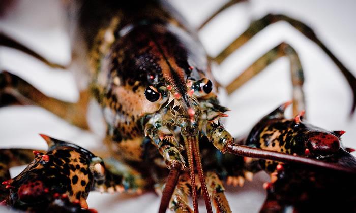 英国研究显示甲壳类动物的确会感到疼痛 瑞士明文规定不得把生龙虾丢入开水中