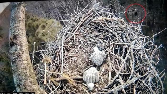 美国鸟类学家在密歇根州拍到类似雪人(大脚怪)的不明生物