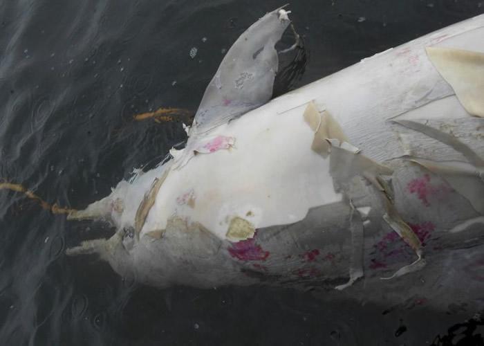 专家分析相信,海豚是死于鲸类麻疹。
