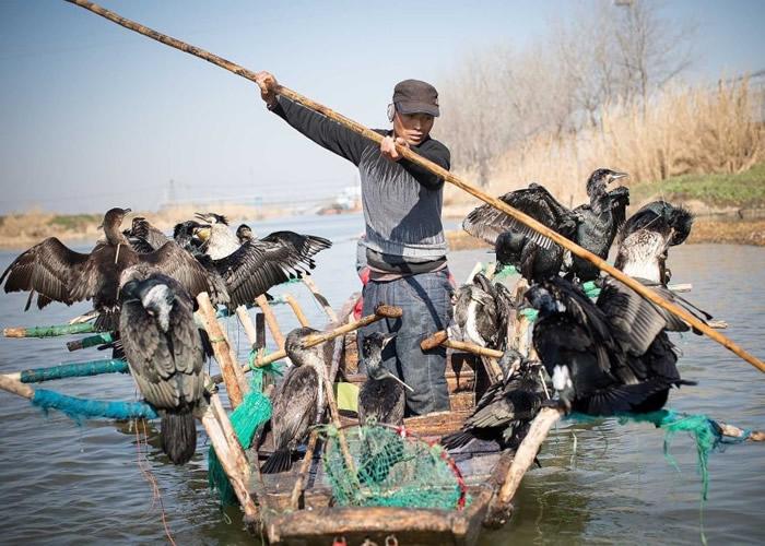 鸬鷀捕鱼至今已有逾千年历史。