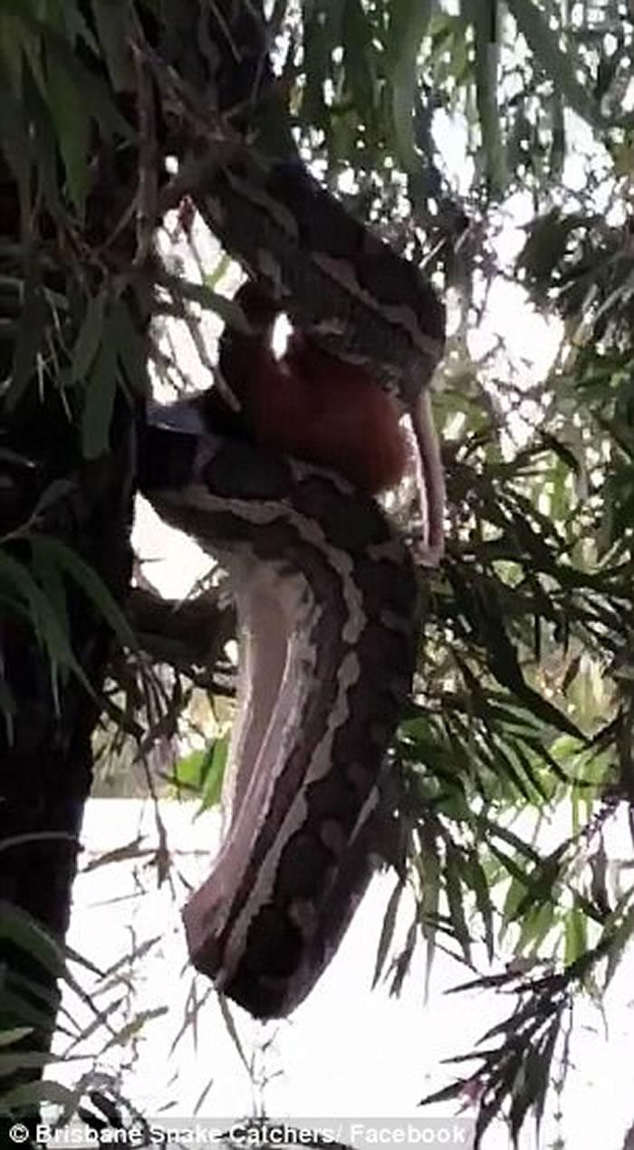"""澳洲昆士兰布里斯班3米长地毡蟒吊在树上""""高难度""""生吞整只负鼠"""