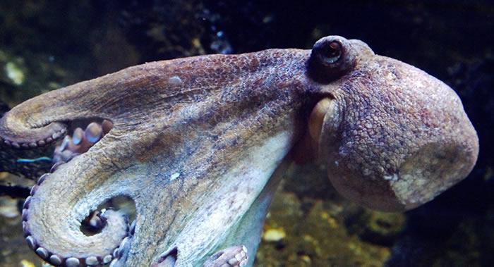 澳大利亚一只海豚活吞章鱼反被憋死