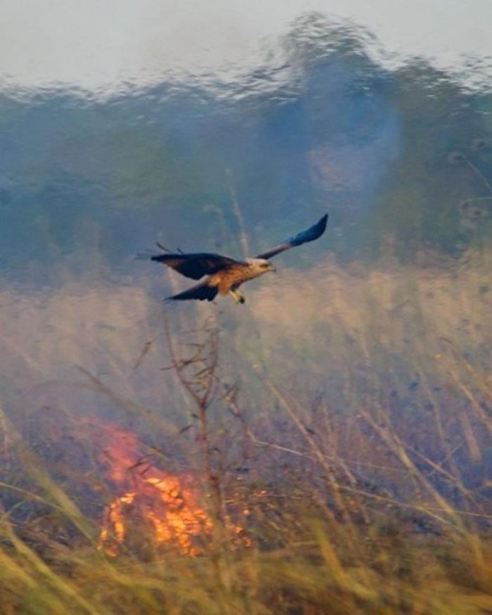 """人类不是唯一懂得用火的 澳大利亚几种鹰隼类猛禽会""""纵火""""来捕捉猎物"""