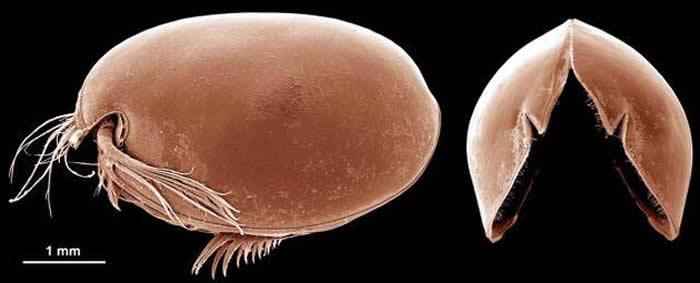 扫描式电子显微镜下的希氏弯喉海萤(Vargula hilgendorfii)(供图/Mark Williams)
