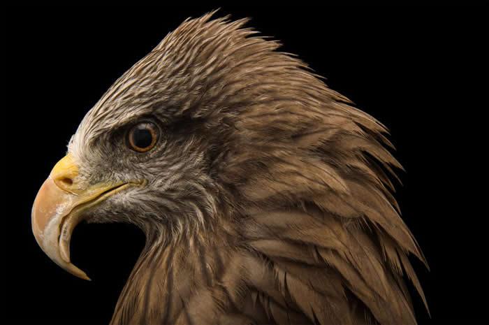 图为马达加斯加赞巴札札动物园饲养的黑鸢,这种动物被认为是在澳洲散播火灾的鸟类之一。 PHOTOGRAPH BY JOEL SARTORE, NATIONAL G