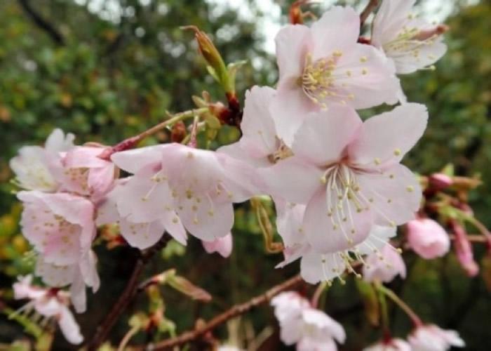 熊野樱或是百年来首确认新品种的野生樱花。
