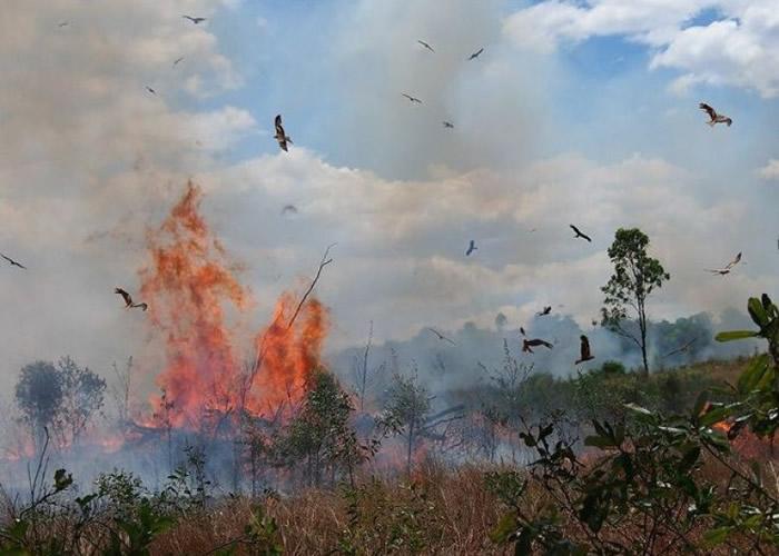 鹰隼类猛禽对火灾的结果非常熟悉。