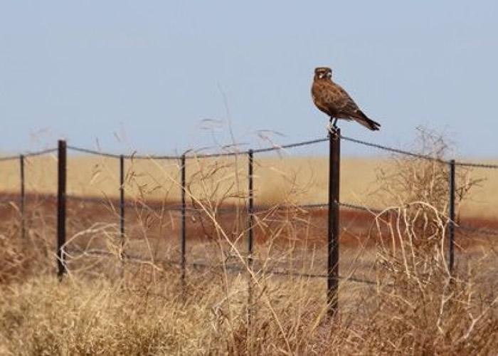 褐隼在野外等待猎物出现。