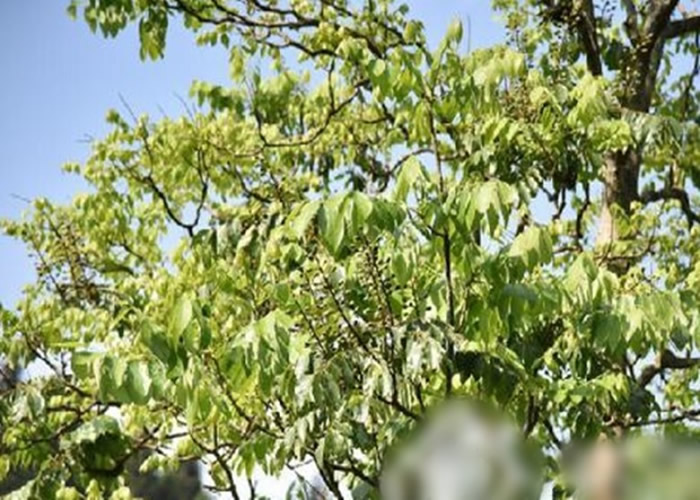 伯乐树分布范围零散,是国家一级重点保护野生植物。
