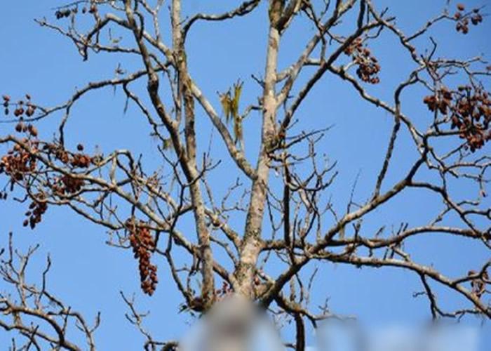 伯乐树主要分布于海拔500至2000米的亚热带温暖湿润的季风气候区。