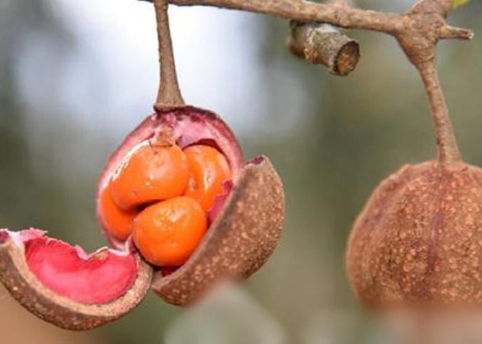 伯乐树为落叶乔木,又名钟萼木。