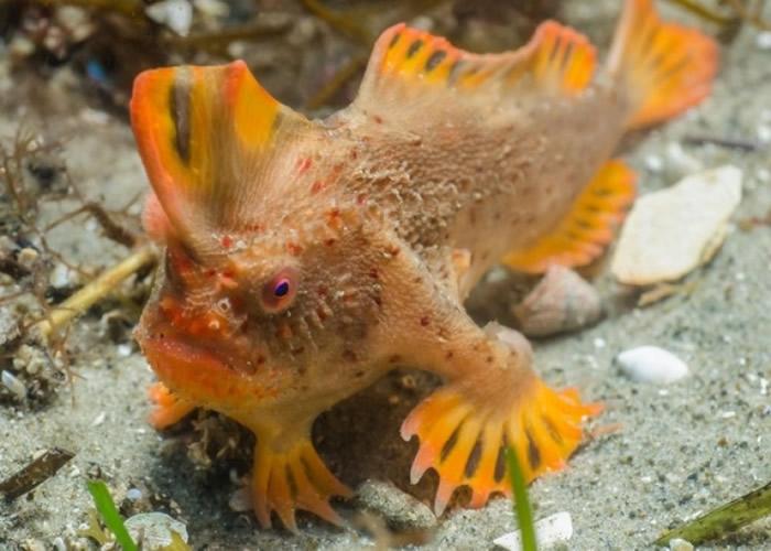 """红色手鱼的鱼鳍长得如手一般,爱在海床上""""步行""""。"""
