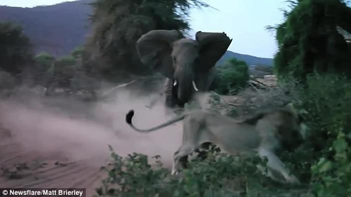 肯尼亚大象妈妈护子 万兽之王狮子落荒而逃