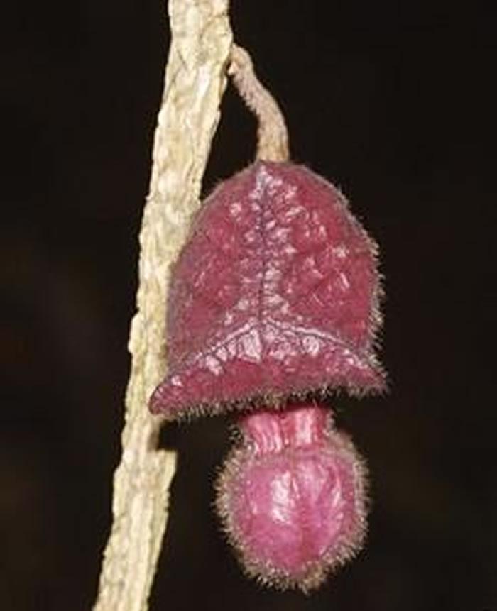 东南亚地区的植物多样性:新一期植物分类学快报描述来自7个科的18个新种