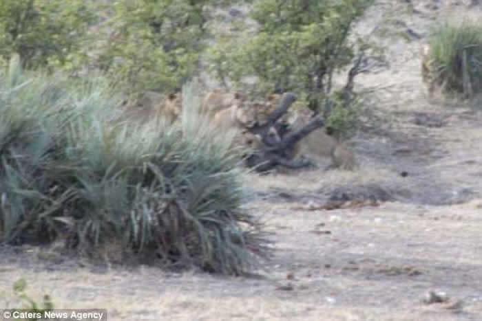 南非克鲁格国家公园一群水牛合力从狮群口中救出象宝宝