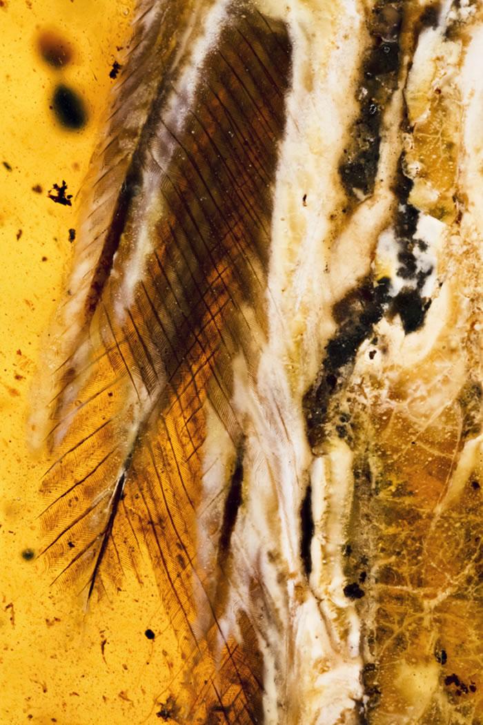 煎饼鸟羽毛特写。供图:邢立达。