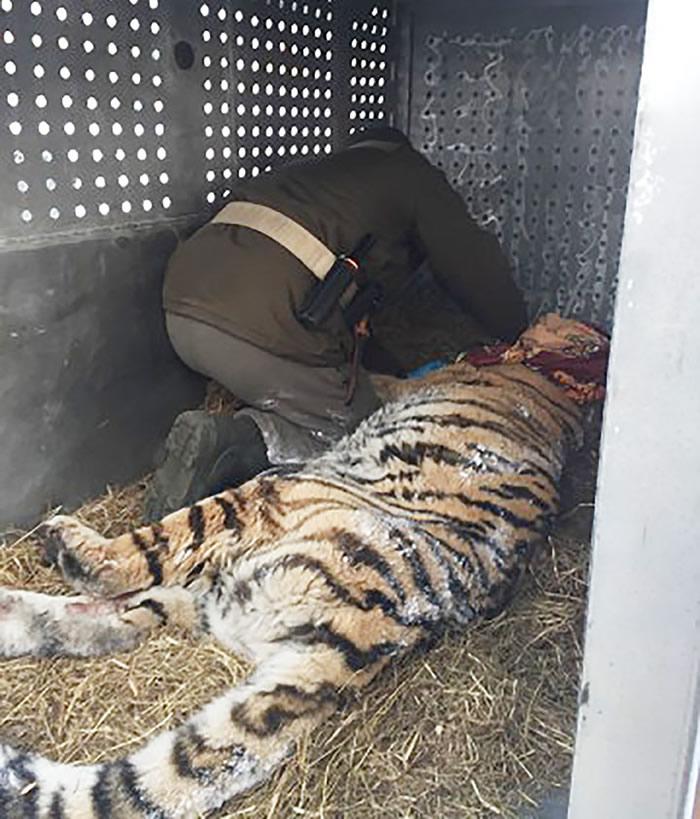 俄罗斯东部村庄村民听到外面老虎咆啸 开门看到老掉牙的西伯利亚虎