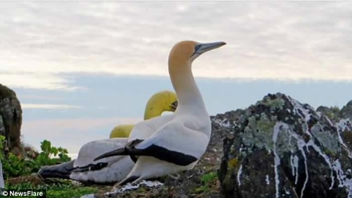 """""""世界最孤独鸟""""鲣鸟奈杰尔在马纳岛上去世"""