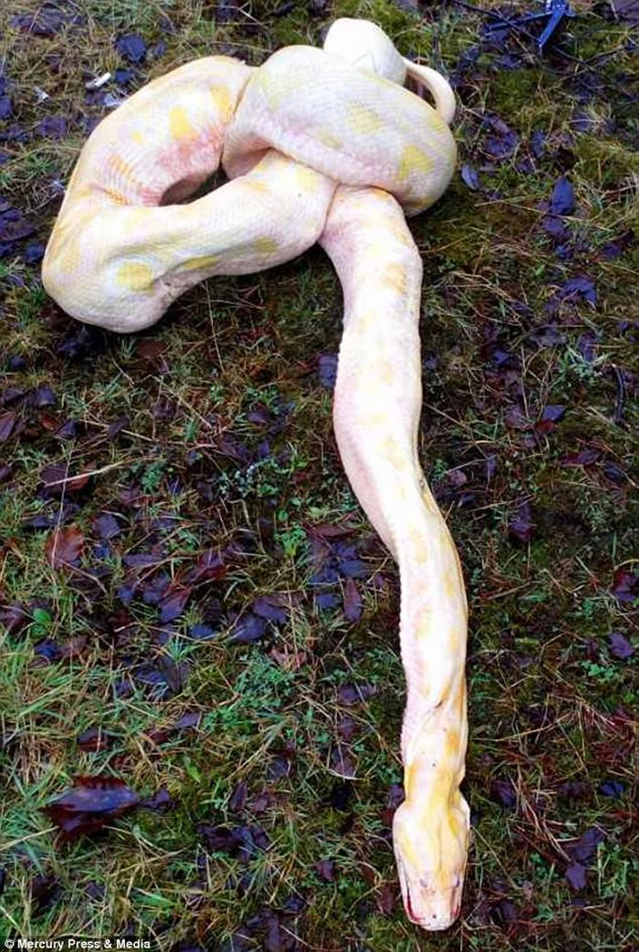 英国威尔斯4.2公尺巨蟒遭爆头穿肺惨死 疑是人类的报复