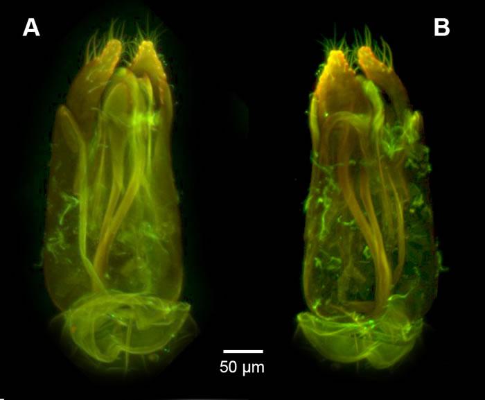 """《生物多样性数据杂志》:昆虫学家发现背部有""""锯""""的寄生蜂Dendrocerus scutellaris"""