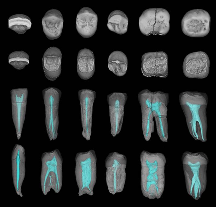 中国科学院古脊椎动物与古人类研究所馆藏的6颗周口店直立人牙齿-显微断层扫描及三维复原(邢松供图)