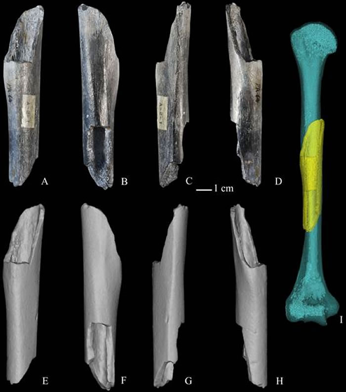 周口店直立人肱骨-原件及显微断层扫描后的三维复原(邢松供图)