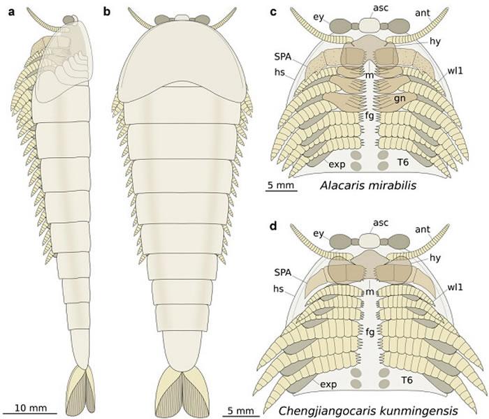 两类抚仙湖虫形态构造复原图. a‒c, Alacaris mirabilis: a,左侧视;b,背视;c,头部细节(腹视);d,Chengjiang