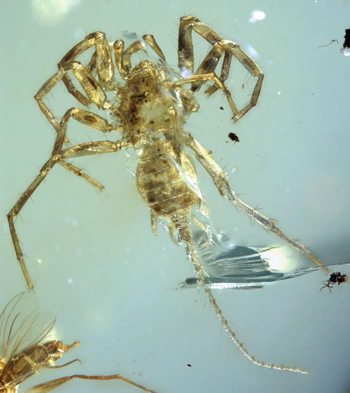 """1亿年前缅甸琥珀中的""""怪物蜘蛛""""——应氏奇美拉蛛"""