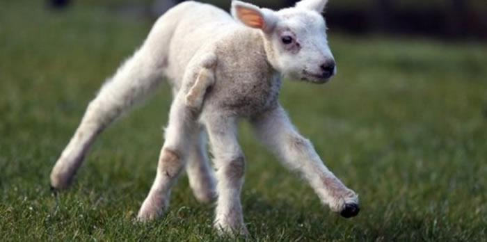 英国北部农场诞生一只五蹄羊羔