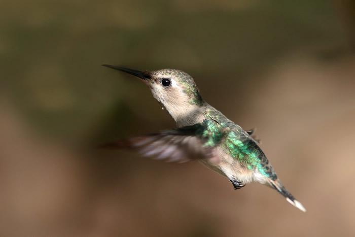 蜂鸟能在半空中高速转弯飞行是拜肌肉灵动功能和翅翼形态之赐