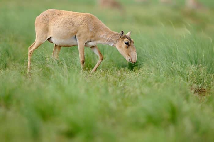 一只雌性高鼻羚羊正在吃草。这种动物的前景依然不明。 / PHOTOGRAPH BY IGOR SHPILENOK, WILD WONDERS OF EUROPE