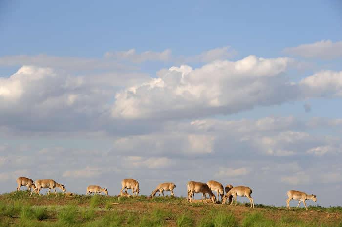 一群高鼻羚羊聚集在俄国卡尔梅克(Kalmykia)自然保留区的盐沼地。 PHOTOGRAPH BY IGOR SHPILENOK, WILD WONDERS O
